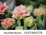 tulip queensland. beautiful...   Shutterstock . vector #1937483578