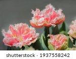 beautiful flowers tulips....   Shutterstock . vector #1937558242
