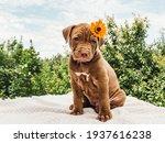 Pretty Puppy Of Chocolate Color ...
