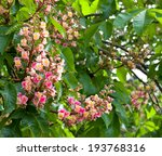 Small photo of Blooming Aesculus x carnea or red horse-chestnut