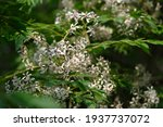 Close Up White Chinaberry...