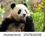 Panda Eating Shoots Of Bamboo....