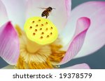 A Blooming Lotus Flower And A...