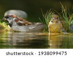 The European Greenfinch ...