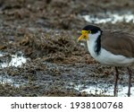 Masked Lapwing  Or Spur Winged...