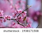 Bee On A Redbud Tree Blossom.