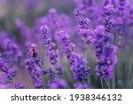 Close Up Lavender Flower...