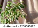 Indoor Plant Ficus Benjamin On...