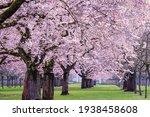 Sakura Cherry Blossoming Alley. ...