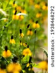 Mexican Hat Wildflowers In A...