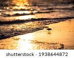 One Sanderling Shorebird Bird...