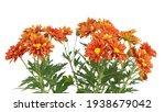 Bright Orange Chrysanthemum...