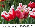 beautiful photo of tulips...   Shutterstock . vector #1938869815