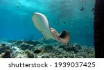 Small photo of Unusual stingray pose. Stingrays on shallow water. Diving with stingrays.