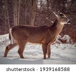 White Tail Deer In The Snow