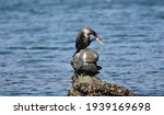 A Young Black Cormorant By The...