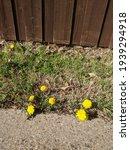 Dandelion Flowers In The Lawn ...