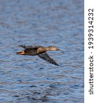 Small photo of Mallard flying over the lake. Mallards are large ducks with hefty bodies, rounded heads, and wide, flat bills.