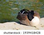 Goose Sleeping By The Waterside