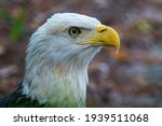 Wild White American Bald Eagle