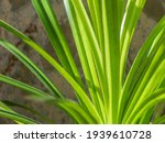 Green Long Thin Leaves And...