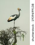Grey Crowned Crane In Profile...