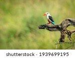Grey Headed Kingfisher On...