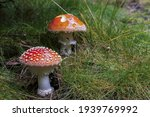 Photo Of Two Red Fly Agaric...