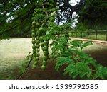 Long Green Seedpods On A...