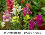 Snapdragon Flowers. ...