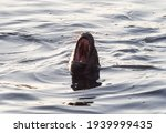 South American Sea Lion With...