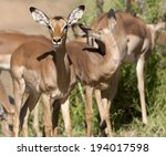 impala in the kruger national... | Shutterstock . vector #194017598