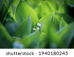 The Green Glade Of Lily Of The...