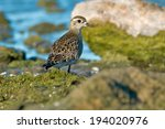 Small photo of American Golden Plover walking on slimy rocks along the water's edge.