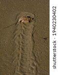 Horseshoe Crab Pattern In Sand. ...