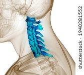 Spinal Cord Vertebral Column...