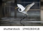 Great White Egret Fishing On A...