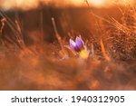 Spring Flowers Pulsatilla...