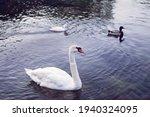 White Whooper Swan Cygnus...