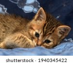 Cute Brown Kitten With Stripes...