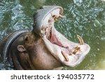 Hippopotamus Showing Off His...