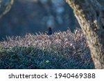 Male Blackbird Sitting On Top...