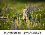 Ural Owl Siting On Broken...