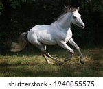 A Beautiful Grey Horse Canters...