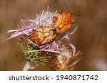 Red Shield Bug  Carpocoris...