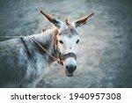 A Cute Grey House Sad Donkey...