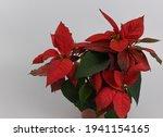 Christmas Flower Poinsetta On...