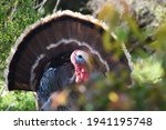 Beautiful Wild Male Turkey In...