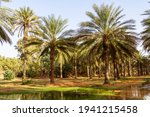 Plantation Of The Date Palm....