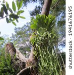 The Fern Epiphyte Deer Horn ...